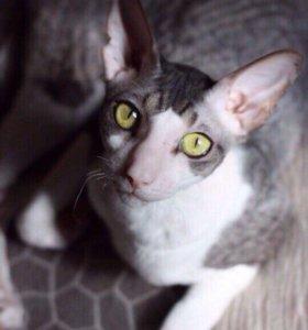 Кот корнишрекс