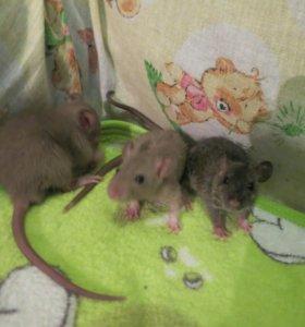 Маленькие крысятки рекс породы