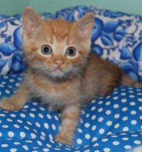 Котенок в добрые руки Абрикос, кот в дар