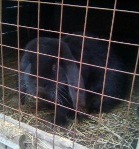 Кролики на мясо и на развод