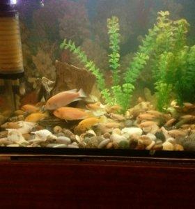 Аквариумные рыбки, цихлиды