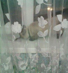 Тайская/сиамская кошка