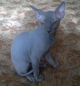 Котёнок элитной породы