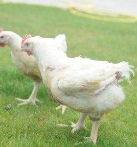 Продаем бройлерных цыплят на мясо и кур.