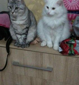 Белоснежный котик курильский бобтейл