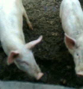 Продам кабанчика и свинку 3х месячных