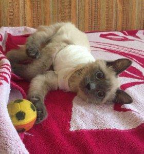 Отдам сиамского котёнка в добрые руки