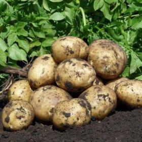 Картофель из Белоруссии