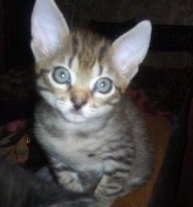 Котёнок от шотландской кошки.