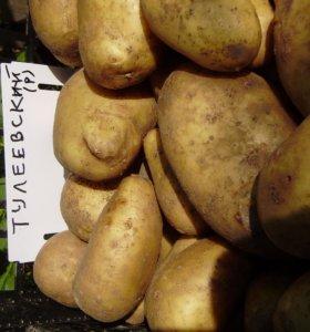 Картофель Сынок, который не надо окучивать