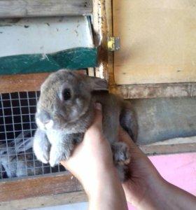 Кролики бархатные рексы