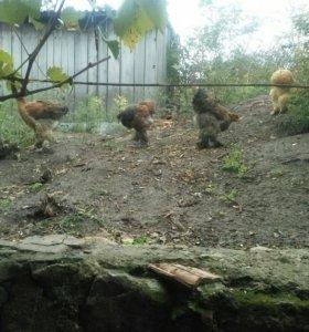 Цыплята брама и кохинхин
