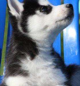 Шикарный черно-белый мальчик Сибирской Хаски