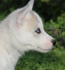 Голубоглазый мальчуган Сибирской Хаски