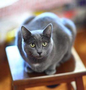 котята от русской голубой кошки