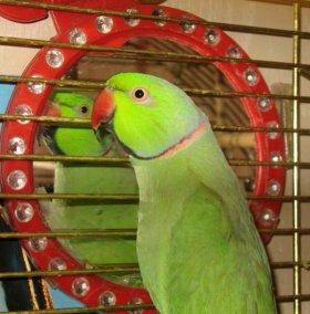 попугай ожереловый молодой