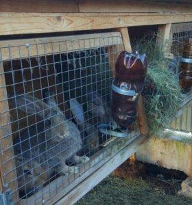 Кролики Фландеры 4 мес.