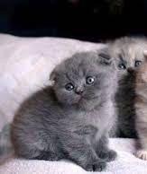 Продам вислоухого котенка (мальчик)