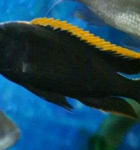 "Otofarinx black ""Orange dorsal"""