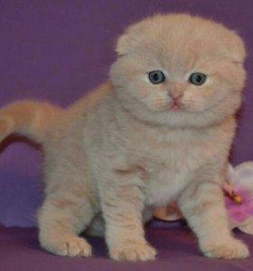 Персиковые вислоухие котята кот вязка