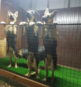 Щенки Восточноевропейской овчарки ВЕО