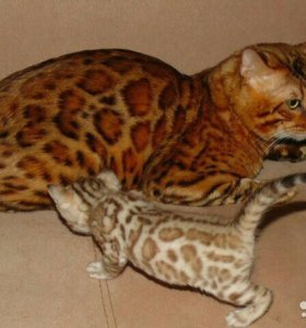 Бенгальские котята-домашние леопардики