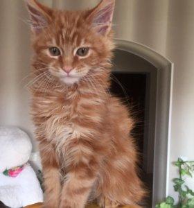 Кот красный мрамор
