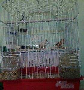 Попугаи , птицы Амадины