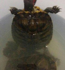 Красноухая черепаха 17см
