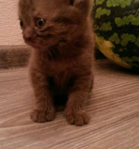 Продам котят от шотландской вислоухой кошечки
