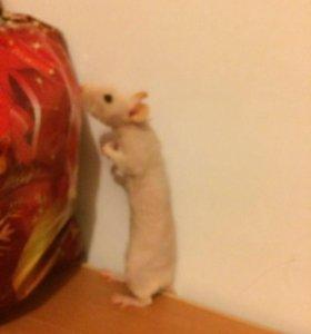 Отдам крысу с клеткой