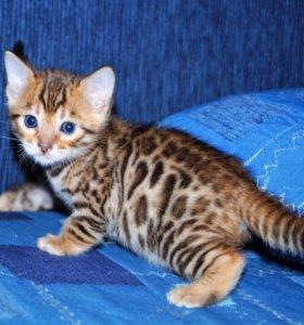 Бенгальская леопардовая Кошечка