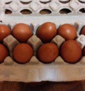 Яйцо инкубационное Моран, утка мускусная