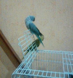 Ожереловые попугаи с клеткой