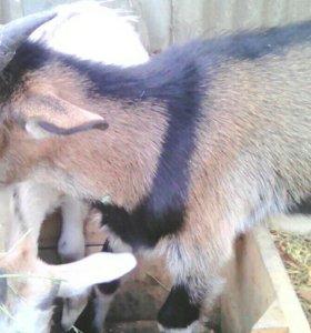 Две козочки и козел + мать