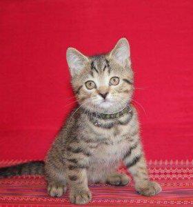 Британский котенок (девочка)