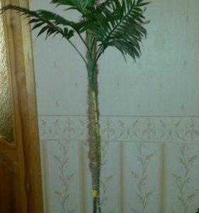Пальма. Растение