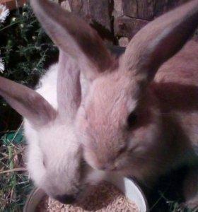 Кролики декоративные Срочно!