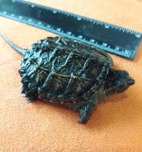 Черепаха каймановая