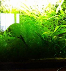Аквариумные растения, креветки.