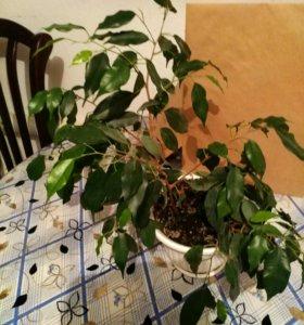 Продаётся цветок фикусовое дерево