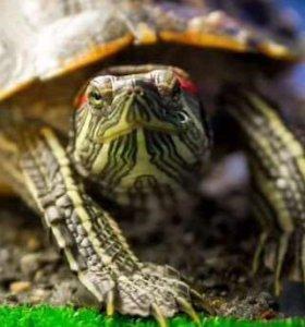 Красноухие черепахи 🐢