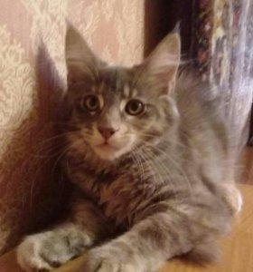Кошечка мейн кун