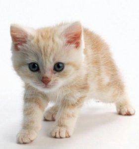 Котята-британцы