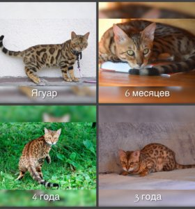 Белгальские кошки и кот