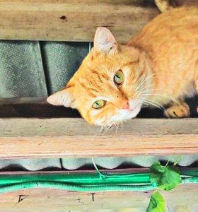 Рыжий, шикарный, красивейший, великолепный кот!!!