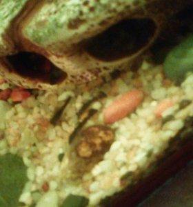 Маленькие сомики ( анцитрусы)