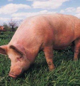 Покупаю свиней