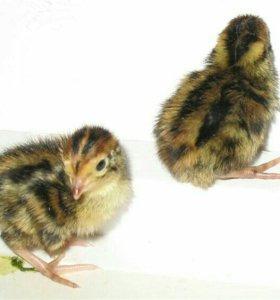 Вывод цыплят на заказ