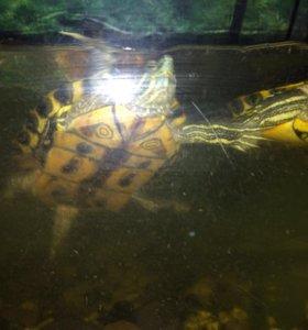 Красноухие черепахи в добрые руки